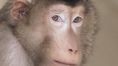 WaNPRC Macaca nemestrina SPF Breeding Colony