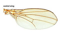Drosophila control wing illustration
