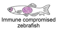 Immune compromised zebrafish for cell transplantation
