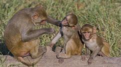 ONPRC Rhesus monkeys