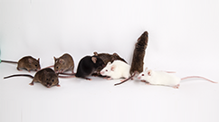 Special Mouse Strains Resource