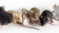 Various Mutant mouse examples